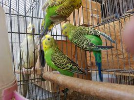 عصافير استرالي للبيع مدينة نصر