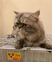 عندي قط ذكر شيرازي للبيع
