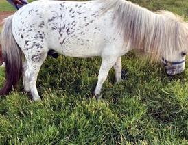 Bonnie stallion for sale