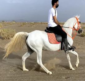 Arabian mare beautiful