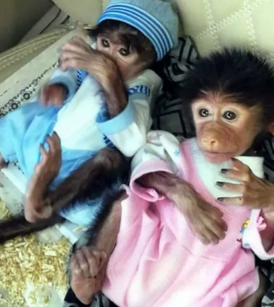 Female monkey for sale 12