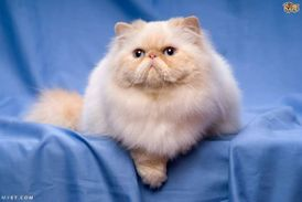 قص شعر جميع القطط بكل احتراف التواصل لأي مكان 1