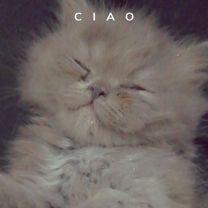 قطة بيكي فيس رمادي