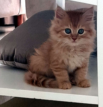 قطة تركي بيرشن شيرازي للبيع