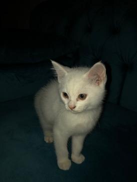 قطة شيرازية للتبني 9