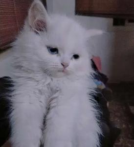 قطة شيرازي بيور