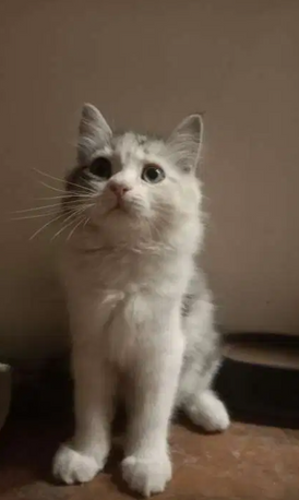 قطة شيرازي بيور 3