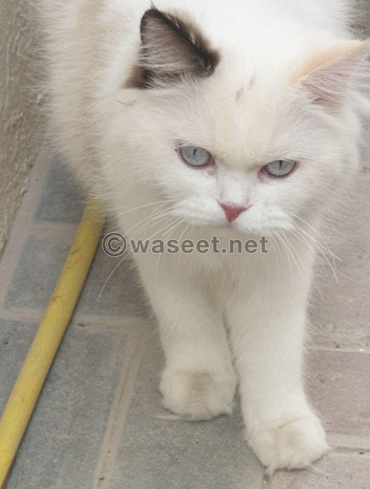 قطة شيرازي هيمالايا جميلة للبيع مطعومه بالكامل 0