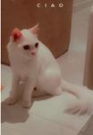 قطة شيرازي وقطة امريكية