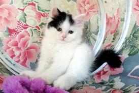 Purr Persian Kitten dear eyes male kitten