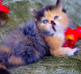 قطة كاليكو للبيع