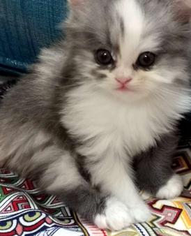 قطة للبيع النوع شيرازي