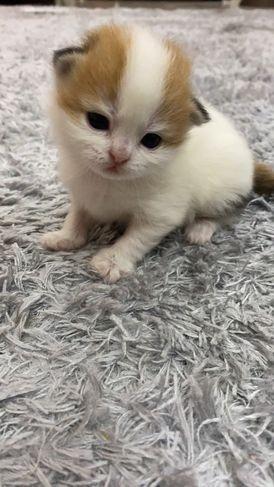 قطة للبيع ب2000 درهم