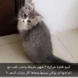 للبيع قطة شيرازية
