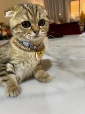 قطتان سكوتش فولد اناث العمر 3 شهور 7