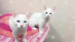 قطتين شيرازية