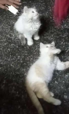 قططتين شيراز للبيع
