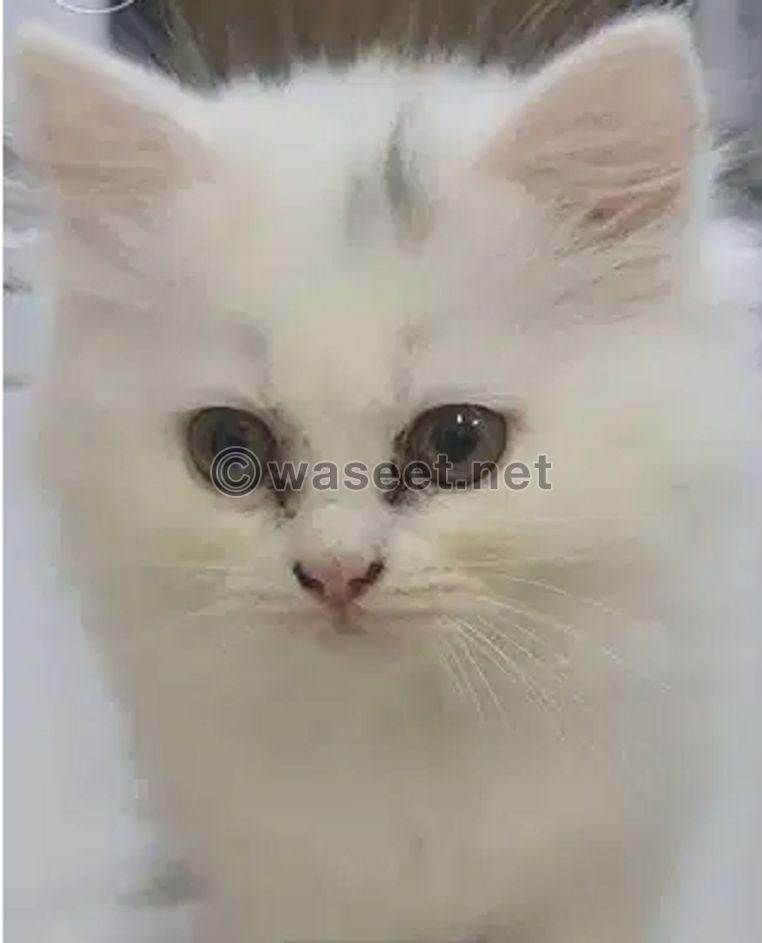 قططى الصغار ريمى و سيمبو 0
