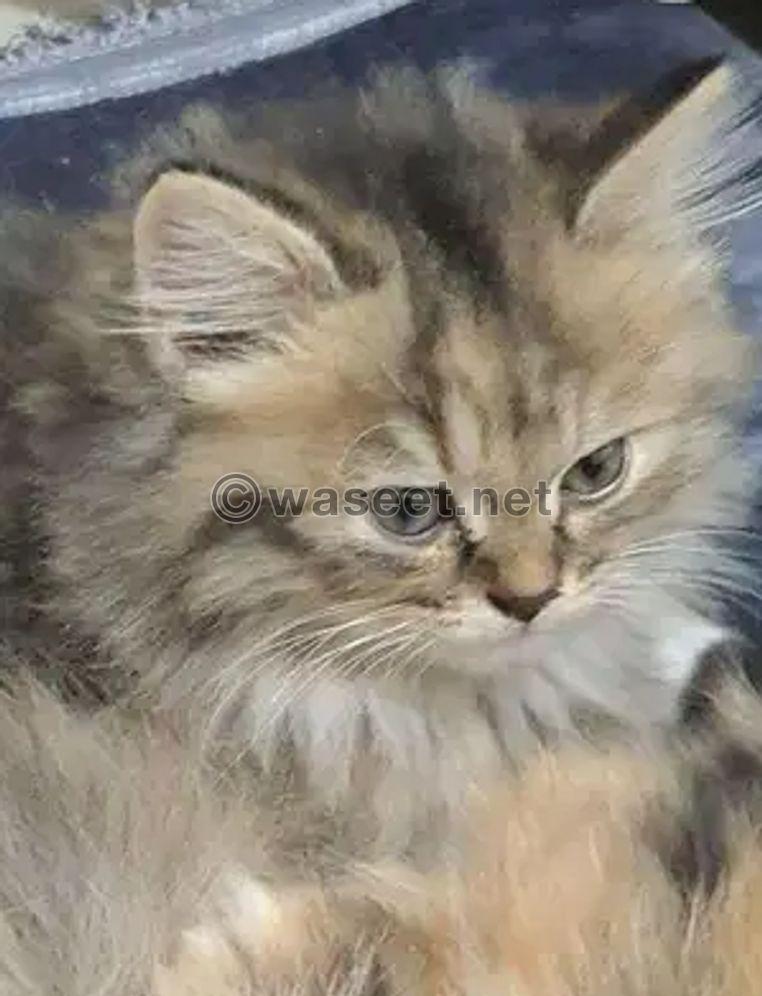 قططى الصغار ريمى و سيمبو 1