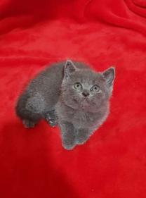 قطط بريتش بلو وليلك بريطانية للبيع