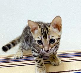 Pure Bengal kittens