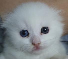 قطط سكوتش للبيع 6