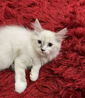 قطط شهرين ونصف للبيع