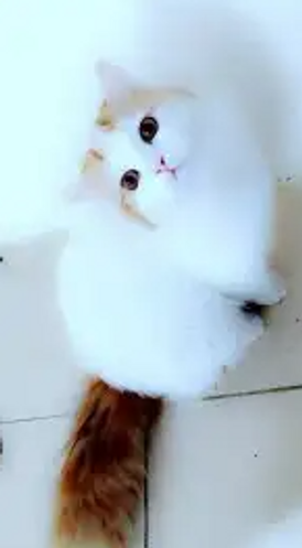 قطط شيرازيه حامل للبيع