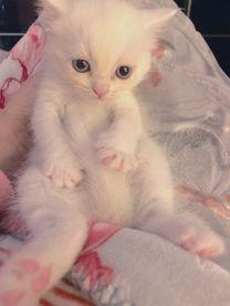 قطط شيرازي بريطاني