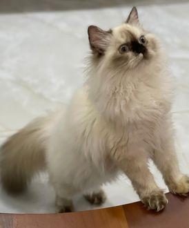 قطط شيرازي بيكي هيمالايا للبيع