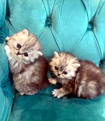 قطط شيرازي مون فيس نوع نادر وجميل