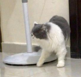 قطط صغيره للبيع 15