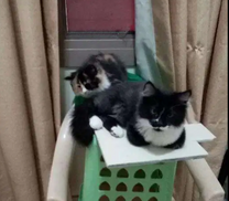 قطط للبيع بسبب السفر