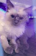 قطط  للبيع 1