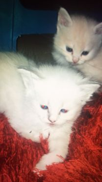 Cats for Sale