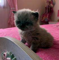 قطط هيمالايا تشوكليت