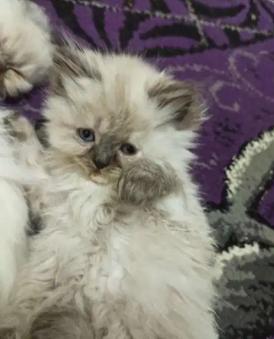 قطط هيمالايا للبيع