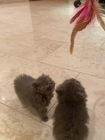 قطط 6 أسابيع شيرازي