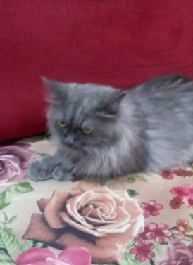 قطه انثى شيرازي