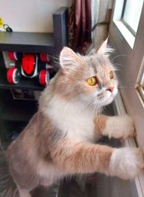 قطه انثى مانكوون