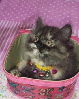 قطه تورتلا للبيع 4