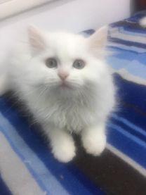 قطه شيرازى للبيع