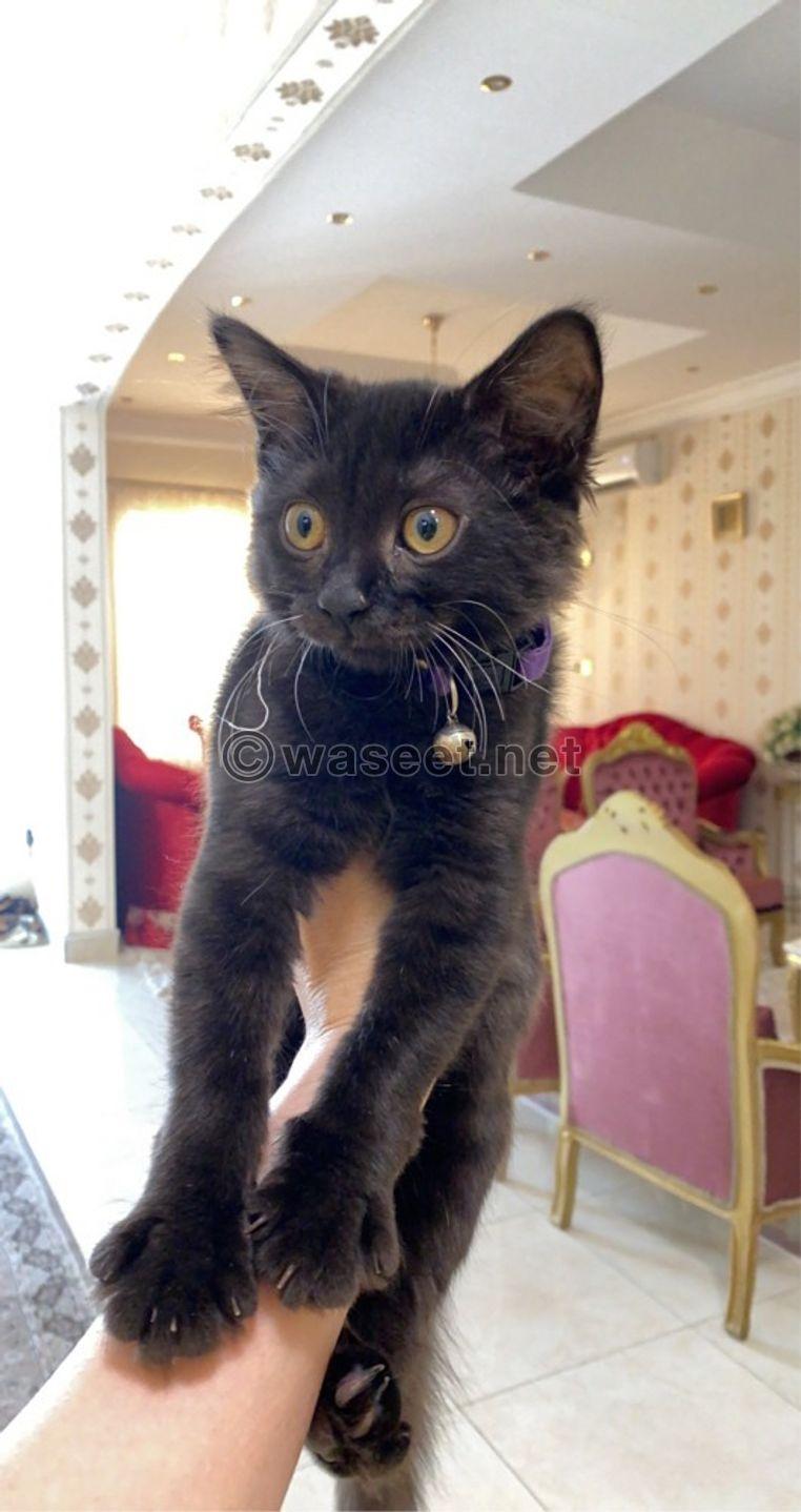 قطه شيرازيه انثى 0