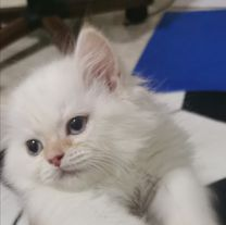 Shirazi Pure Orange Cat
