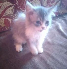 قطه شيرازي بيور للبيع
