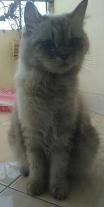 قطه شيرازي توب بلو لونج هير