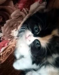 قطه شيرازي للبيع العمر 50يوم