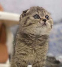 قطه للبيع سكوتش فولد