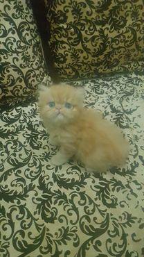 قط بيكي فيس عيون ازرق العمر 45 يوم
