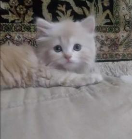 قط جميل شيرازي للبيع 6